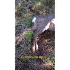 Porque tener 4 cuando se puede tener 5? Has visto alguna vez algo parecido? Miren que buen trofeo además de su peculiaridad  Viva la Caza. Tag #cazamayor #caza #deerhunt #deer #caza #teckel #rifle #vivalacaza #longlifetohunting #ammunition #camuflaje #camo #corzo #jabali #ciervo #venado #guns #y  #blaserr93 #cartucho #procaza #chaser #wildboard #hunt #hunter #hunting #berrea #roedeer #campo #wildlife #españa�� http://misstagram.com/ipost/1547343536272625654/?code=BV5RL-BBs_2