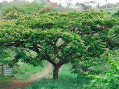 Saman tree at the Ridge to Reef Farm, St Croix USVI.  see Ecocarib UGA-Virgin Islands Caribbean Program on Facebook.