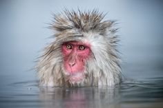 Smithsonian Magazine  Photo of the Day: Monkey See  A Japanese macaque soaks in a hot spring.  Photo by Anthony Smith; Yudanaka, Yamanouchi, Japan