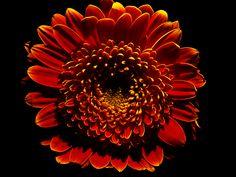Flower in the style of Harold Feinstein.