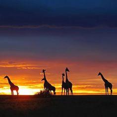 @Easyvoyage - Sunset in Kenya  #myeasyvoyage #kenya #africanbeauty #sunset #sunsetlovers #nature #naturelovers #wildlife #giraffe #travel #discover #adventure #wanderlust #safari #africa #beautifuldestinations #wonderful_places #colors #wild #photooftheday Hotels-live.com via https://www.instagram.com/p/BFb-VIzSYZh/ #Flickr