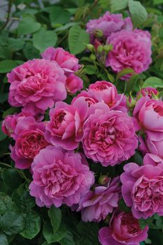 Fabulously pink 'Princess Anne' (Auskitchen) is one of the terrific David Austin roses introduced in 2012.
