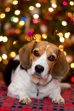 Christmas Beagle. Beagle dog art portraits, photographs, information and just plain fun. Also see how artist Kline draws his dog art from only words at drawDOGS.com #drawDOGS