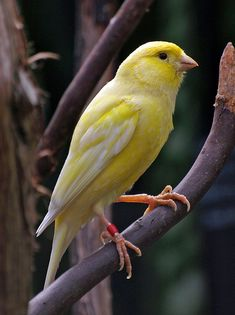Yellow Canary  - Vancouver, Canada