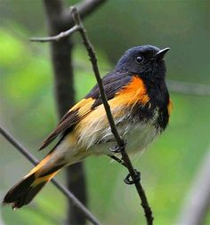 American Redstart, a smallish warbler. Breeds in North America, across Canada & the eastern US