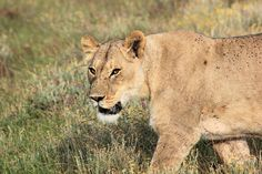 Lion at Gondwana Private Game Reserve, South Africa