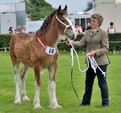 In-Hand Shires at the Lincolnshire Show