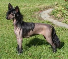 chinese crested | BOB Chinese Crested Hairless > Xtasy Sugarfree de GabriTho