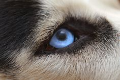 Blue-eyed sled dog