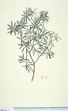 Styphelia Fasciculata - - New Zealand  -  artist Daniel Mackenzie, Curtis's bot. Mag. 49: t. 2350 [1822].  The Endeavour botanical illustrations -