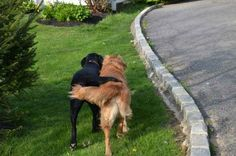 The weird canine equivalent of a couple walking around with their hands in each others' pockets: