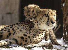 Cheetahs...beautiful and fast. I wish I could do that with my eyeliner...