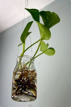 ivy pothos in glass jars, hung by wires Plants In Jars, Ivy Plants, Water Plants, Water Garden, Indoor Garden, Indoor Plants, Pathos Plant, Purple Plants, House On A Hill