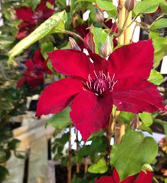 Buy Clematis 'Nubia' - this is ideal for containers and has huge saucer-sized flowers. Pick yours today.