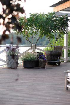 träd i kruka, klotnaverlönn - zon 3 (4) rundväxande tät krona - tidig (plantera grönbladig trifolium under), rönnsumak - vida grenar med flikiga blad - sen, maackia amurensis - mycket härdig, långsamväxande, sen - silverfärgat bladutspring - sol/halvskugga. Victoria Skoglund
