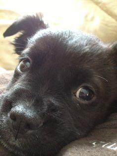 Boston Terrier PitBull Puppy.<3