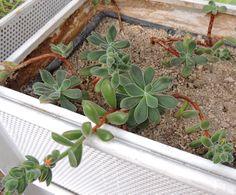 Echeveria pulvinata. http://www.elhogarnatural.com/Suculentas%20y%20crasas.htm