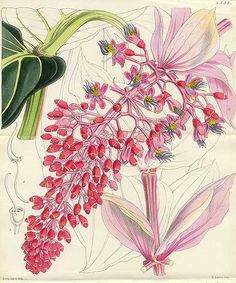 Antique print: picture of Magnificent Medinilla (Double Sized Print) - Medinilla magnifica, Java