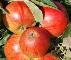 cox's orange pippin apples - Google Search