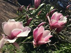 My garden, Burrawang Port Wine, Magnolia, Garden Design, Rose, Flowers, Plants, Photos, Ideas, Pink