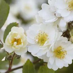 Sterk geurende rozen - De allermooiste klimrozen van Belle Epoque Dream Garden, Family Garden, Red Fruit, Climbing Roses, Enjoy It, Early Spring, Bright Green, White Flowers, Backdrops