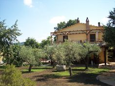 Olive trees in the yard