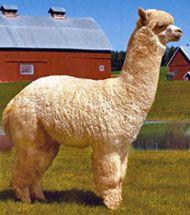 Huacaya Alpacas:  Farmers normally raise Huacaya (pronounced wah-KI-ya) alpacas for their fiber, which is short, dense, crimpy