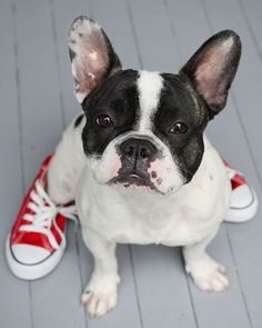 Pied frenchie.