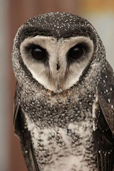 SootyOwl are beautiful and attractive bird which look innocent but owl aremostly wild and sound horror. Beautiful Owl, Animals Beautiful, Cute Animals, Owl Bird, Pet Birds, Birds 2, Cute Australian Animals, Owl Photos, Snowy Owl
