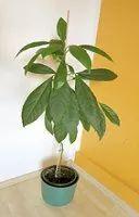 Avocadobaum selber pflanzen ziehen Anleitung,Um eine Avocado selber zu pflanzen, brauchen Sie zuerst den Kern einer Avocado. Am schönsten wachsen übrigens Avocadobäume, die aus der schwarzen Avocado aus Mexiko stammen.