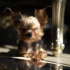 Don't you just love this dog? Yorkie Yorkshire Terrier Puppy Dogs #YorkshireTerrier