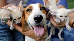 Embora cães de caça sejam criados para caçar raposas, este cão de resgate cuidou de uma ninhada de raposas abandonadas.