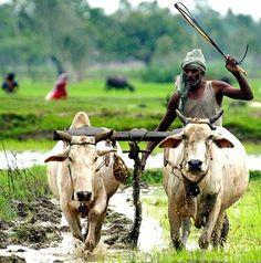 Agriculture = la colonne vertebrale  de l'Inde rurale