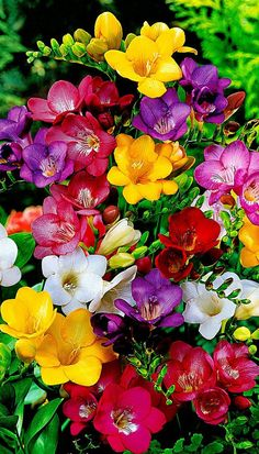 Colorful freesia flowers - Gifts For Love Beautiful Flowers Pictures, Beautiful Flowers Wallpapers, Beautiful Flowers Garden, Beautiful Flower Arrangements, Flower Pictures, Exotic Flowers, Amazing Flowers, Beautiful Roses, Pretty Flowers