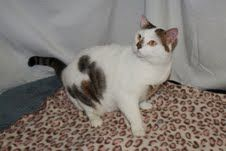 Cat of the Week    Kahlan is a female domestic short-hair who is about 3 years old. She is best suited as the only cat in the household. Kahlan is the last of the cats rescued from a hoarding situation 18 months ago.