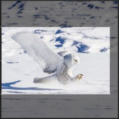 Posts about Golden Ratio written by Rikk Flohr Lechuza Tattoo, Golden Ratio, Snowy Owl, Paths, Whale, Photography Composition, Shamanism, Animals, Owls