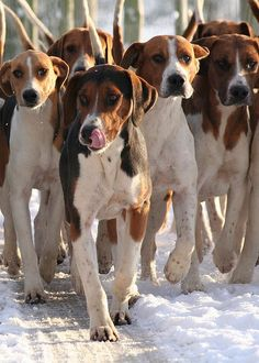 Hurworth Hounds - going for a walk in the snow by Amy Fair - Hurworth Photography, via Flickr