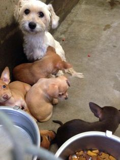 This mama Terrier and her babies are available and need out! They are adorable!!! All of them and mama is so sweet. Please Someone foster or adopt!! Lets save them. Mamas need good food and babies Don't need to be in the pound. Odessa, Texas  Kennel A29 —
