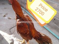 Pakbreed - Sell and Buy top breeds in Pakistan Roosters For Sale, Birds For Sale, Buy Birds, National Animal, Buy Pets, Hens, Livestock, Beautiful Birds, Pakistani
