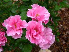 Else Poulsen.jpg  http://rosesunlimitedownroot.com/new_page_18.htm