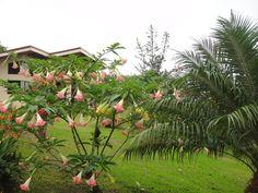 Angel's Trumpet / Brugmansia Aurea Tree, Miradas Arenal Cabinas, Costa Rica