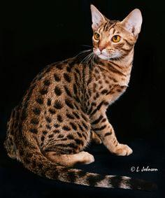 191 best ocicats images cattery ocicat cool cats