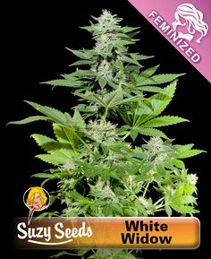 White Widow is a true Dutch classic that was developed on Dutch soil in 1994 by the Australian Shantibaba. It is a cross between a Brazilian Sativa mother and a South Indian Indica hybrid father. The White Widow is named after its white crystal-encrusted tops.