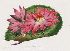 1845 Louis Van Houtte Warterlily Prints Victoria Regia