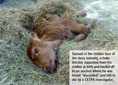 Samuel the Jersey Calf: The Hidden Face of Dairy (cheese, ice cream, cow's milk)   OMG.  This is so incredibly sad--and there are countless stories just like this.  : (