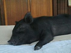 Teacup pigs - so tired...