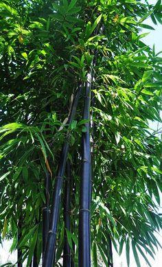 Black Timber Bamboo