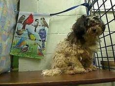 A425053-URGENT MORENO VALLEY** is an adoptable Havanese/Lhasa Apso mix in Moreno Valley, CA. Time is up at the shelter for this precious little soul. Can you save this dog? He needs an adopter to save his life!    MORE ABOUT A425053-URGENT MORENO VALLEY** - Pet ID: #A425053 • Spayed/Neutered • Up-to-date with routine shots • Primary colors: Black, White or Cream CONTACT INFO:  Saving Shelter Pets of California, Inc., Moreno Valley, CA