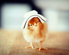 Chicks in Hats 8x10 print with the image of a Rhode Island Red chick wearing a vintage nursing hat on it.  This 8x10 photograph has been printed