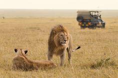 Photo about African lion couple and safari jeep in the Masai Mara in Kenya. Uganda, Best Vacations With Kids, Safari Jeep, Reserva Natural, Safari Adventure, African Safari, Australia Travel, Lion Couple, Eagle Creek